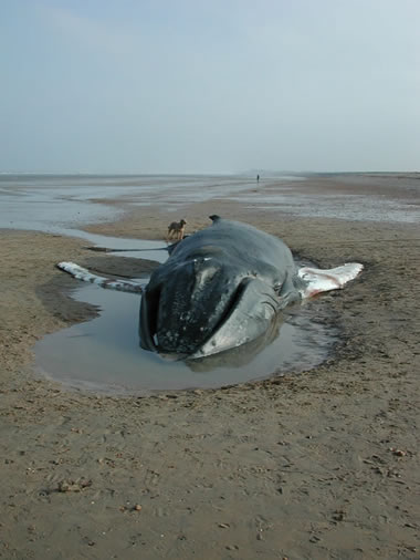 SW2001/60 Stranded humpback whale in Pegwell Bay, Kent © CSIP-ZSL