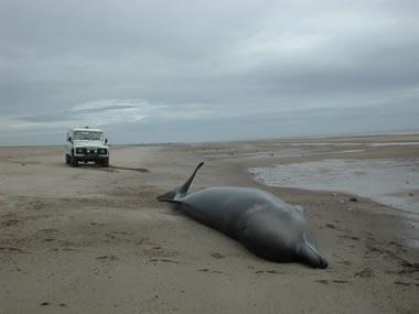 SW2006/236.1 Stranded northern bottlenose whale in Skegness, Lincolnshire © CSIP-ZSL