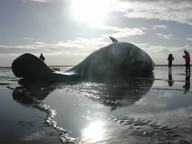 SW2003/84 Stranded sperm whale near Kings Lynn, Norfolk © CSIP ZSL