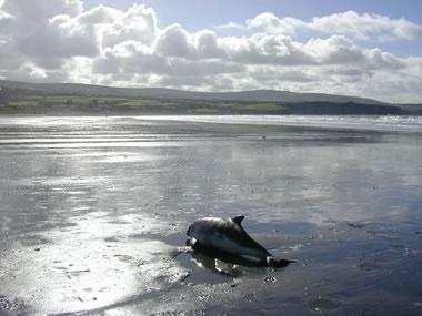 SW2001/233 Stranded harbour porpoise at Newport, Pembrokeshire © Rod Penrose MEM CSIP
